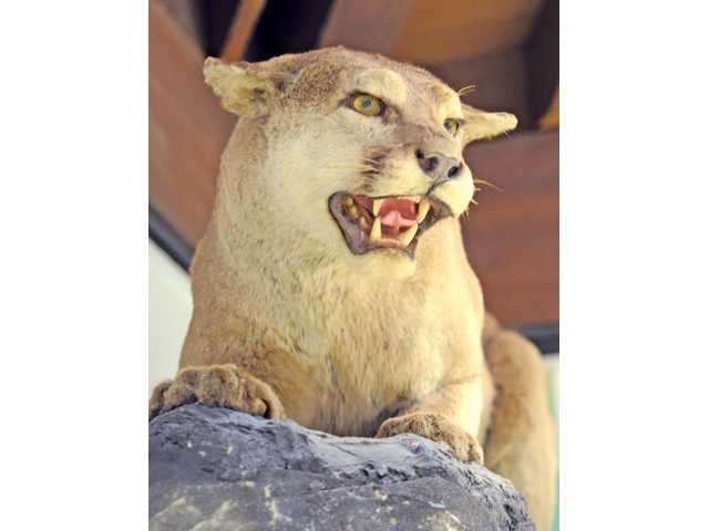 Mountain lion (A taxidermic animal from Placerita Canyon Nature Center)