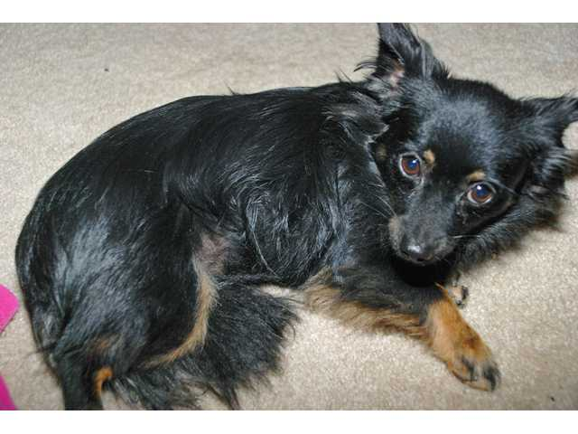 A search is ongoing for Rusty, a 6-pound Chihuahua-Pomeranian mix, who has been missing following a car crash on Highway 126 near Castaic on Monday.