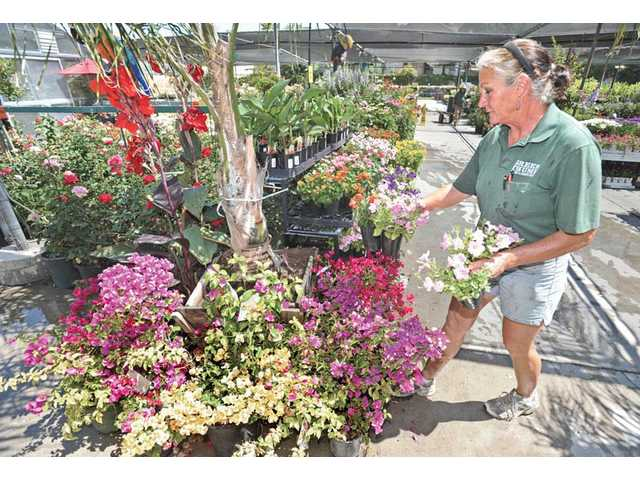 Certified nursery professional Laura Gullas arranges perennials at the Green Thumb nursery in Newhall on Friday.
