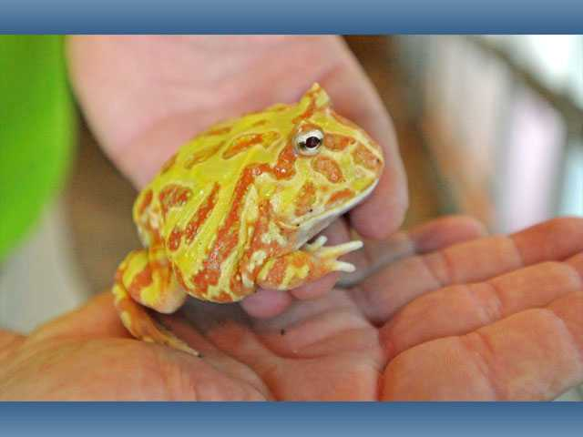 A neon albino Pacman frog