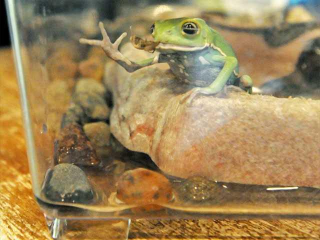 A waxy monkey frog.