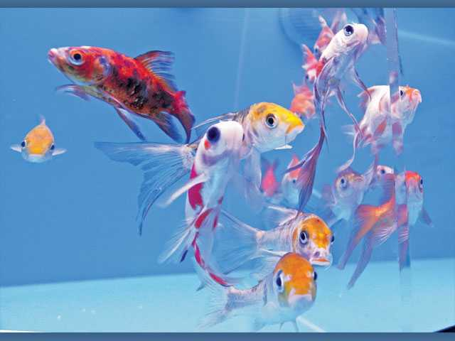 Friends of many colors for Butterfly koi fish aquarium