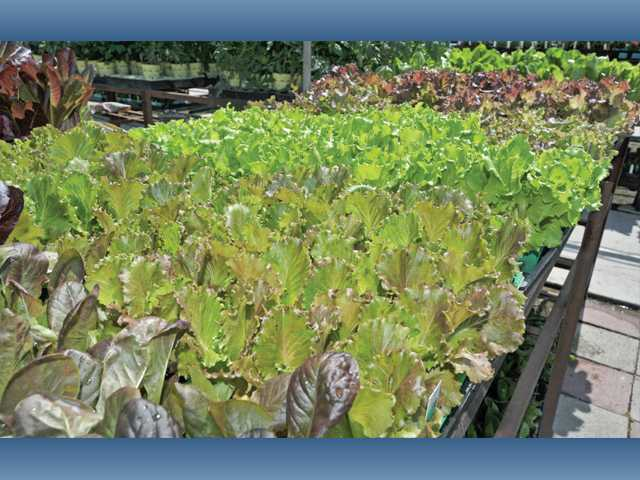 A variety of lettuce plants are available at Green Thumb. An attractive and edible planter can be made from planting different types of lettuce in a pot.