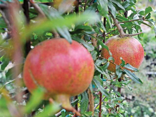 Pomegranate fruits on an arbor.