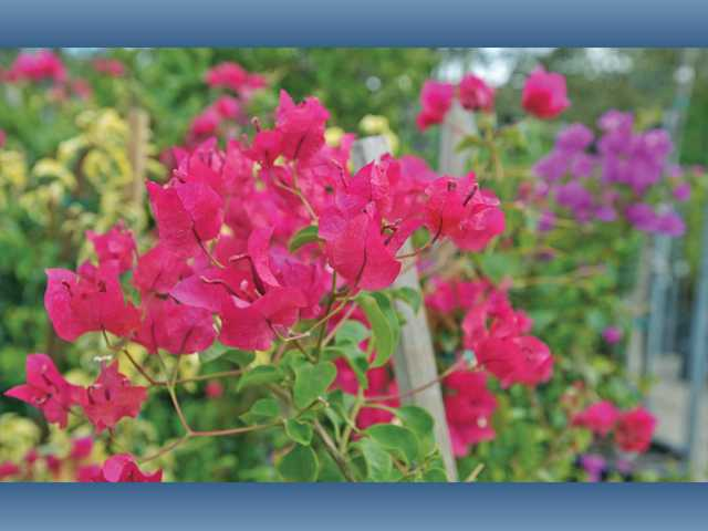 Bougainvillea is beautiful, but might not survive a harsh winter in the SCV where temperatures can drop into the teens.