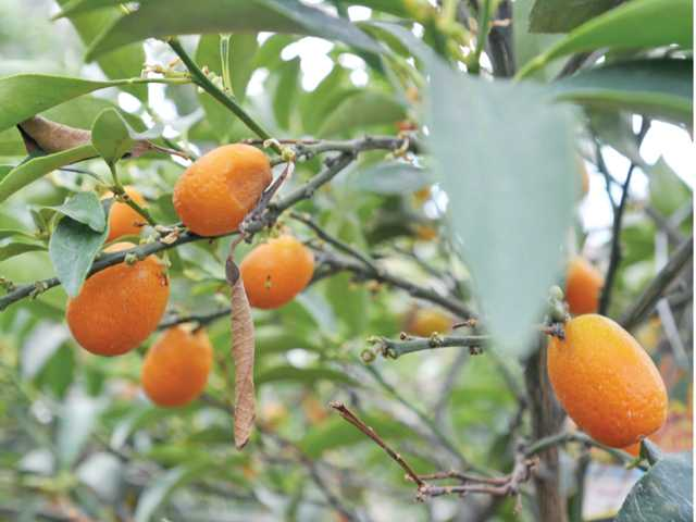 A citrus kumquat tree at Green Landscape Nursery in Saugus.