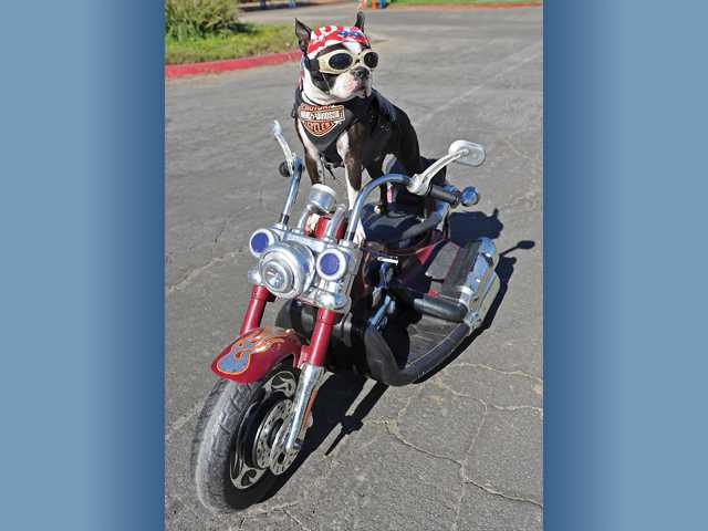 Chopper the bike dog, a Boston terrier, rides a motorcycle toy remotely controlled by his owner Mark Shaffer, of San Diego.
