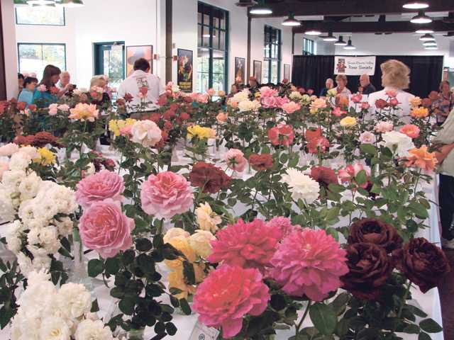 The 18th annual SCV Rose Society Rose Show will be held Nov. 5 at Hart Hall in William S. Hart Park in Newhall.
