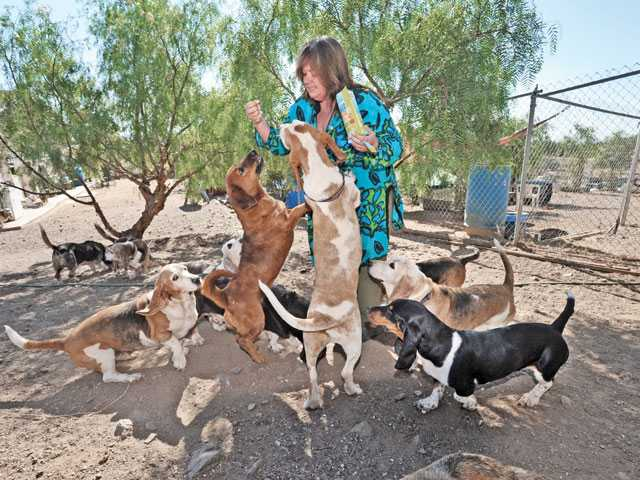 "Daphneyland Basset Rescue Ranch founder Dawn Smith hands out cookies to some of the bassett hound members of ""the herd"" at Daphneyland Bassett Rescue Ranch in Acton on Tuesday."