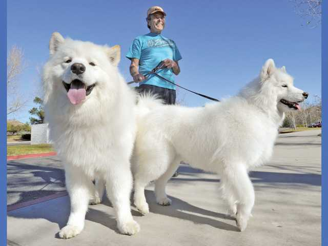 Ken Wade, of Saugus, walks his champion Samoyed dogs as they enjoy the 80-degree weather at Central Park in Saugus on Thursday. Three-year-old Mojito, left, is a grand champion and Libby, 8, is a champion and will compete in an American Kennel Club event in Indio today.
