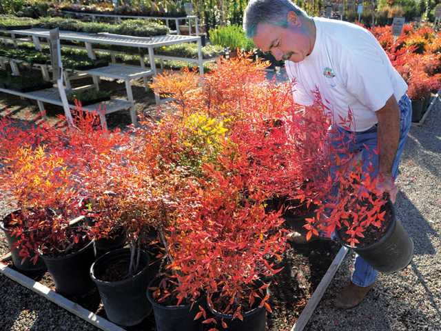 Green Landscape Nursery owner Richard Green with heavenly bamboo plants in 5-gallon containers.