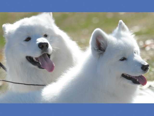 Three-year-old Samoyed grand champion Mojito, left, and 8-year-old champion Libby go for a walk at Central Park in Saugus on Thursday.
