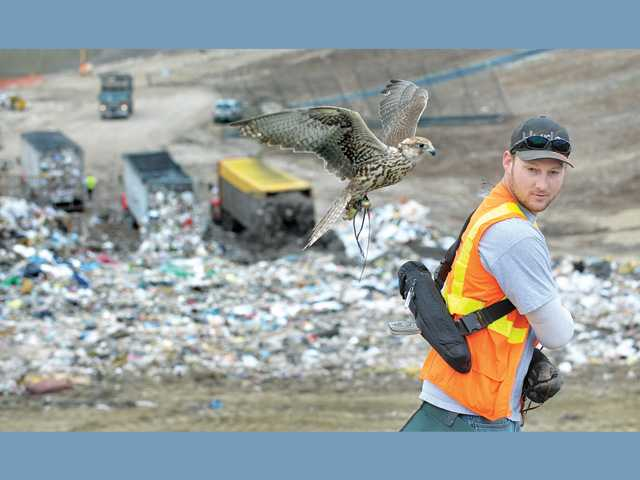 Shelly, an adult saker falcon, flies by Justin Lilly, master falconer for Avian Entertainment,  as garbage trucks dump their loads.