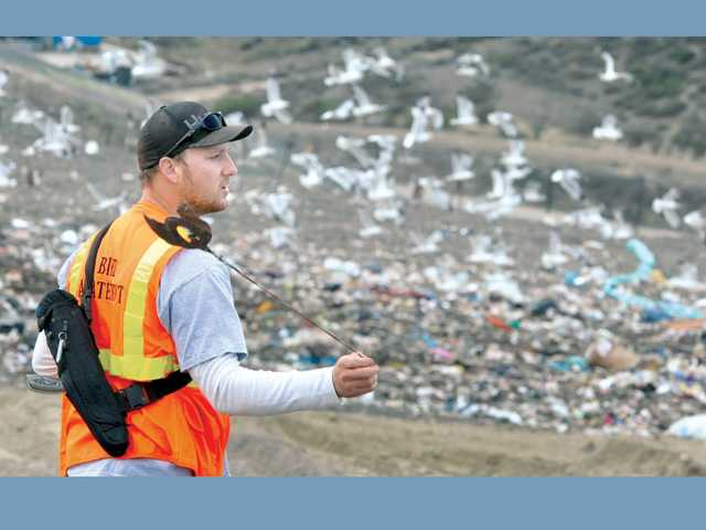 Seagulls fly from Chiquita Canyon Landfill in Castaic on Friday, as Justin Lilly, master falconer for Avian Entertainment, swings a lure for Shelly, an adult saker falcon.
