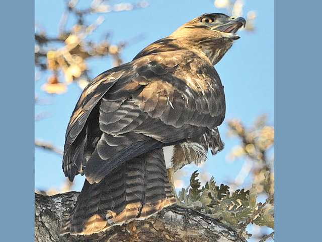 This photo shows one of two red-tailed hawks, which members of the College of the Canyons baseball team said are regularly seen around the campus in the east parking lot of the school's Valencia campus Wednesday.