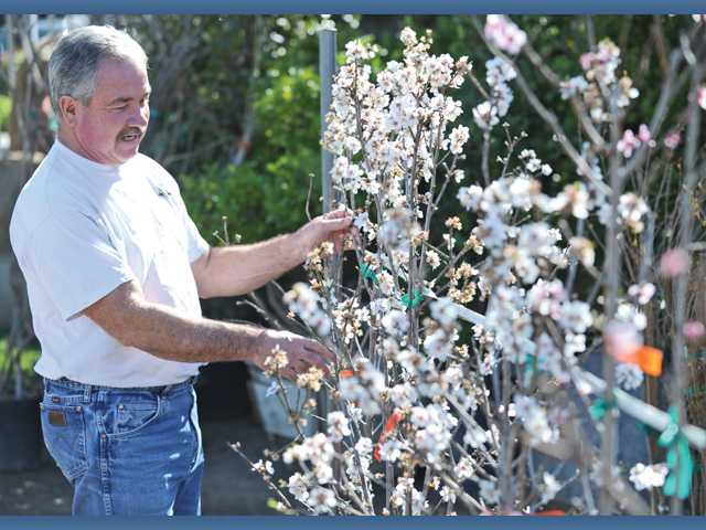 Richard Green of Green Landscape Nursery with almond trees in bloom.