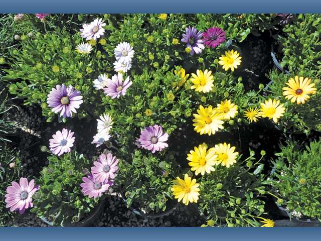 Planting daisies now will add an immediate splash of color. But it's better to plant those that are budding rather than those already in flower.