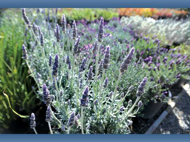Lavender plants blossom at Green Landscape Nursery. You can plant lavender now. If severe cold comes, you might only lose the blossoms.
