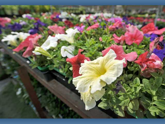 Petunias are $2.47 per six-pack at Green Thumb International in Newhall.