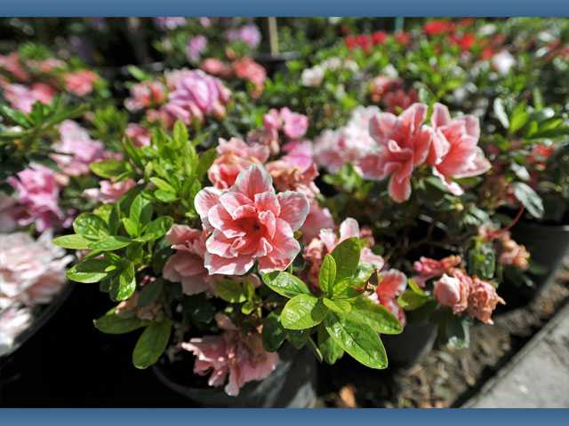 Azaleas are $5.99 for a one-gallon pot at Green Thumb.