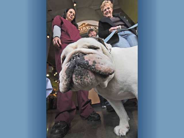 Gracie, a 2-year-old English bulldog, chews a treat as veterinary technician Kristen Winger, left, and dog owner Sue Enresi, of Valencia, take part in AngelDogs Foundation's free microchipping and low-cost pet vaccinations clinic Saturday.