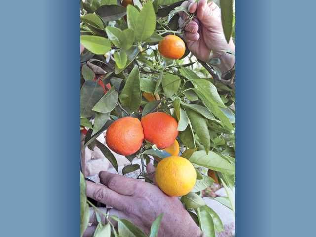 This tree has been grafted to grow five different citrus fruits, three of which appear here: At the top is a Mandarin orange, in the middle are two tangelos and at the bottom is a Valencia orange.