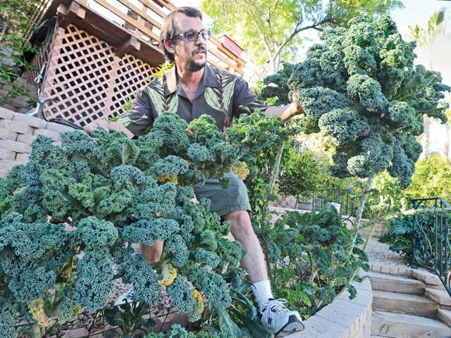 Tony Stewart displays a long stalk of kale growing in his backyard hillside garden.