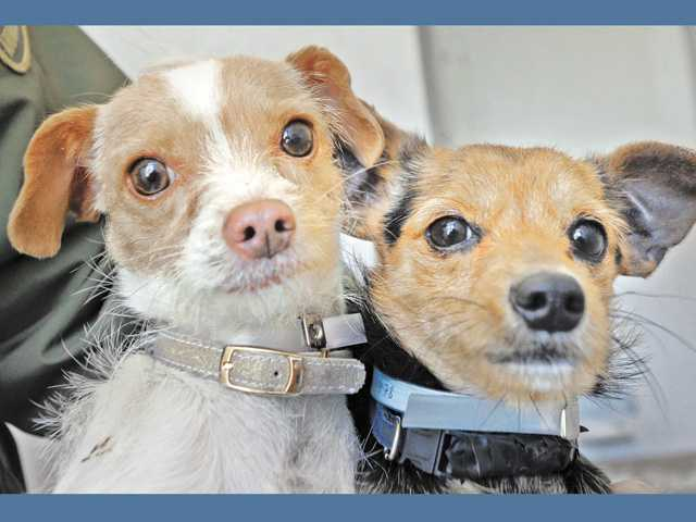 A pair of 2-year-old Chihuahua-terrier mix dogs are available at the Castaic Animal Shelter in Castaic.