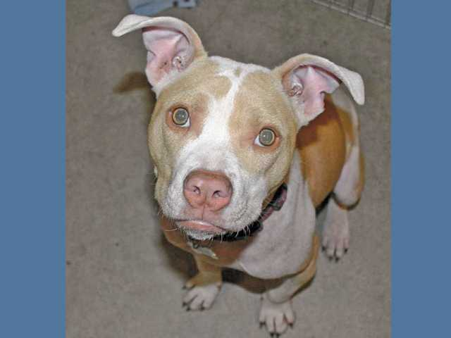 How cute is Poppy? This 8-month-old female Staffordshire Terrier mix has been in foster care for many months, but would really like to find a loving family and a home to call her own.