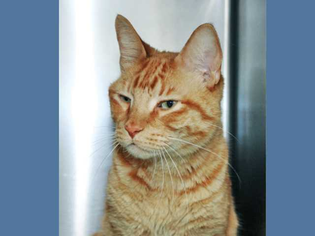Puff is a 5-year-old orange tabby surrendered to the shelter with his brother Smokey and sister Princess.