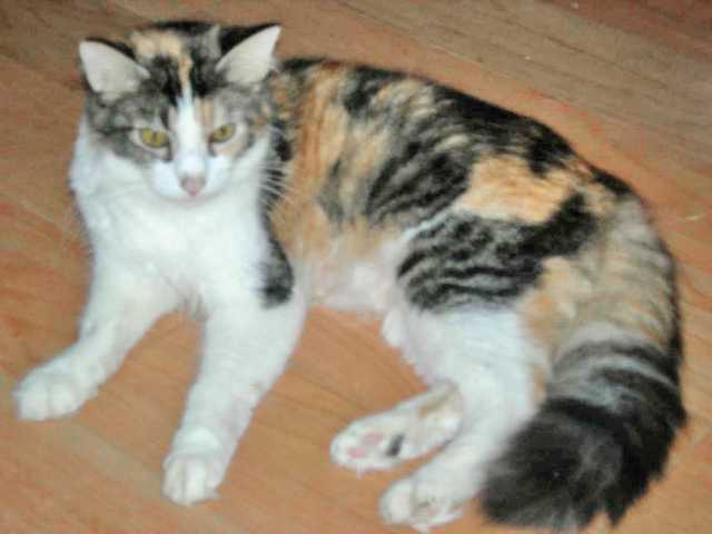 Lady is just that, a beautiful, refined female cat that loves to snuggle, chirp and purr.