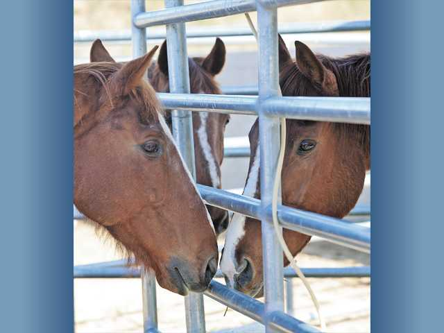 Two chestnut thoroughbred horses, left and center, greet the new addition to the horses at the Castaic Animal Shelter recently.  In addition to dogs and cats, the shelter also cares for hoofed animals.