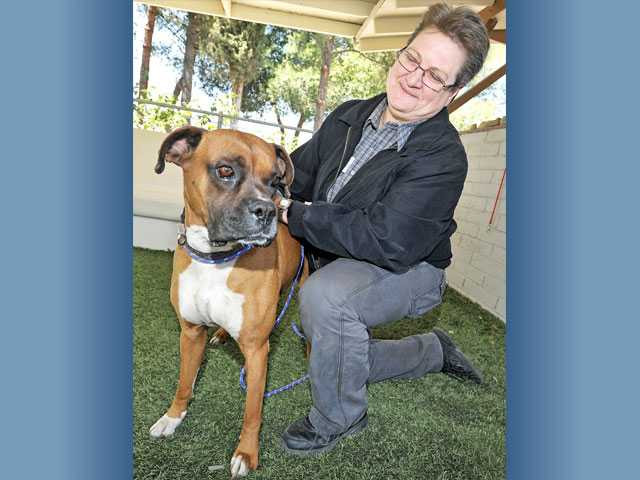 Shelter manager Karen Stepp spends a moment with a 2-year-old boxer mix at the Castaic Animal Shelter on Monday. The dog was rescued from a recent fire in Agua Dulce.