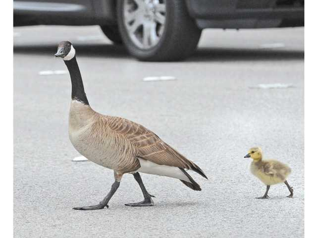 At least two families of Canada geese have been leading their goslings across Bridgeport-area roads in their quests for — well, whatever's on the other side — since the babies were hatched about three weeks ago.