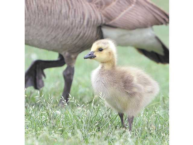 A gosling stands near its mother.