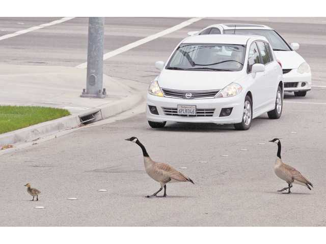 A family of geese cross the road in Bridgeport.
