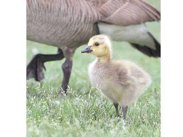A Canada goose gosling scratches for food with its parents, near Bridgeport Lane and McBean Parkway.