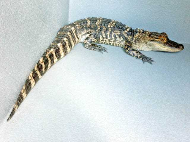 Owner in hot water for reptile