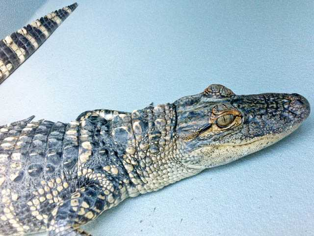 This photo from the county shows the 2-foot-long caiman confiscated in Saugus.