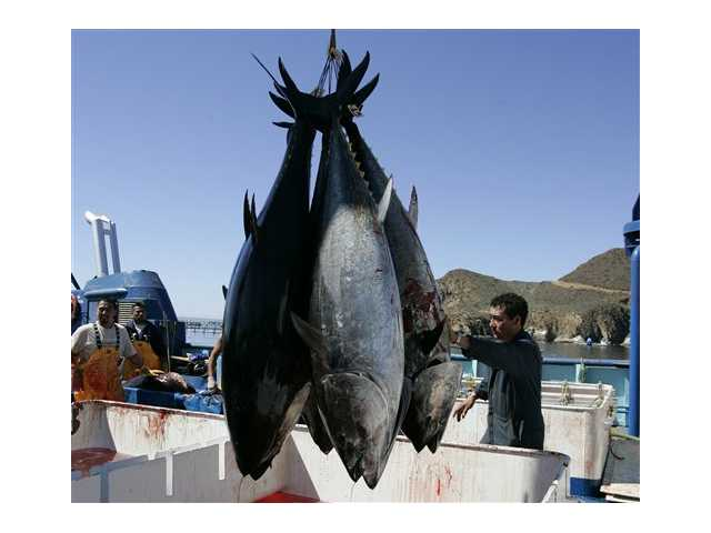 This photo shows workers harvesting bluefin tuna from Maricultura's tuna pens near Ensenada, Mexico. New research found increased levels of radiation in Pacific bluefin tuna caught off the coast of Southern California.