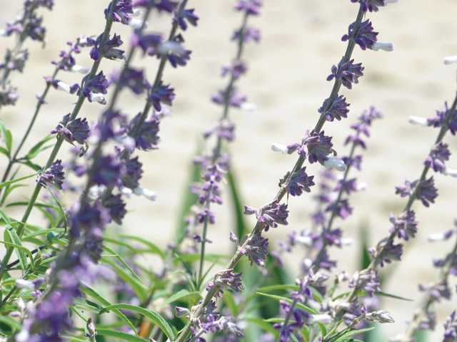 The salvia plant offers up beautiful lavender flowers. It is well-suited to SCV weather.