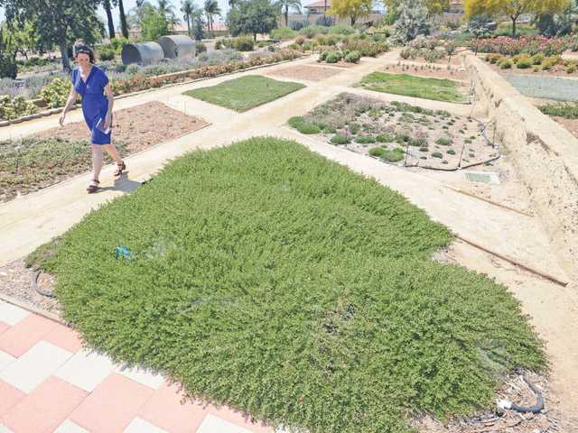 Stephanie Anagnoson walks past water saving ground cover at the CLWA Conservatory Garden in Saugus.