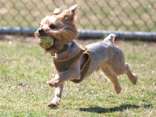 Diego, a silky terrier, retrieves a ball to his owner in the small-dog area of Central Bark in Saugus on Thursday.