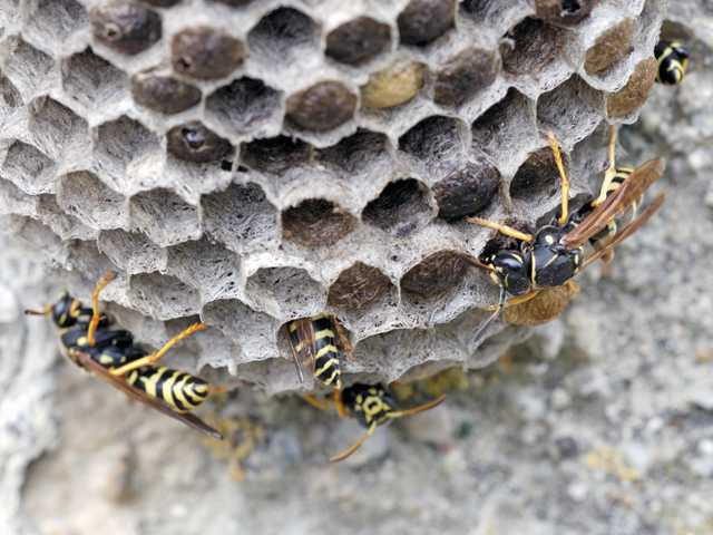 Wasps and their nests can lurk in attics and below the eaves of homes.