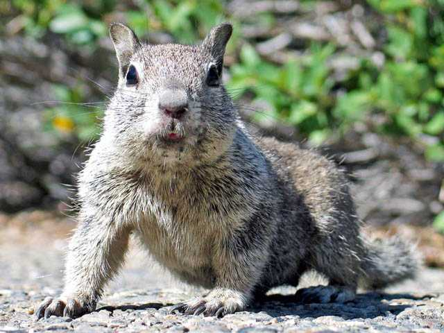 Ground squirrels can be removed and eliminated from your property without restrictions.