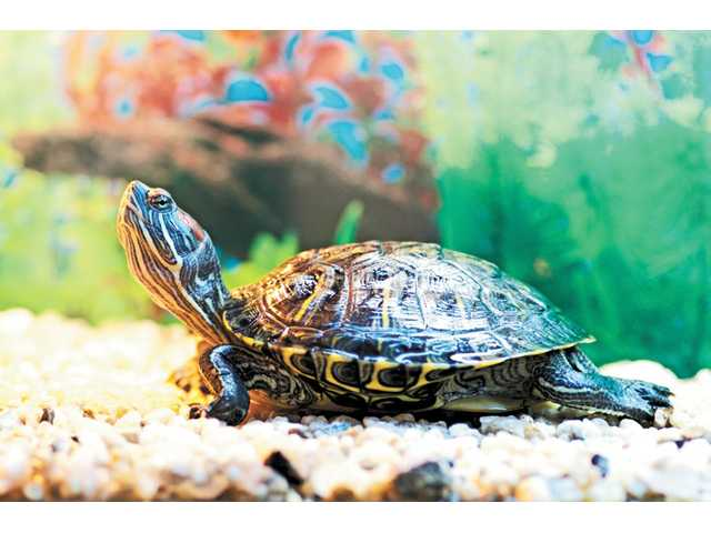 Slider turtles are popular pets for families due to their fairly low maintenance and charming personalities.