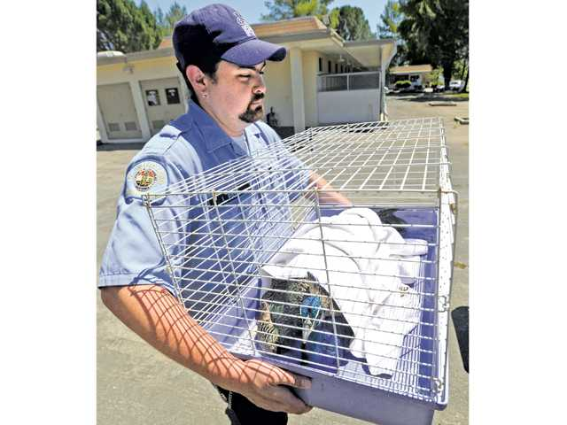 Animal shelter aid John Payne carries a rescued peacock with a broken leg to a truck for transportation from the Castaic Animal Shelter in Castaic to the Wildlife Care of Ventura County on Tuesday. Two young, male peacocks were captured on the Interstate 5 freeway near Templin Highway,  north of Castaic on Tuesday.