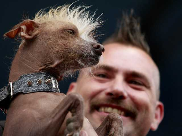 Jon Adler holds his Chinese crested dog, Icky, during the World's Ugliest Dog contest during the Sonoma-Marin Fair in Petaluma on Friday.