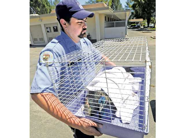 Animal shelter aide John Payne carries a rescued peacock with a broken leg to a truck for transportation from the Castaic Animal Shelter to the Wildlife Care of Ventura County on Tuesday. Two young, male peacocks were captured on the Interstate 5 freeway near Templin Highway,  north of Castaic on Tuesday.