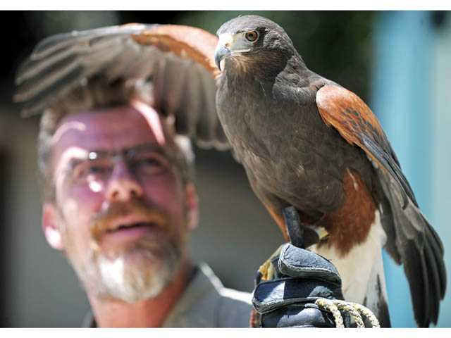 Dave Stives, natural areas animal keeper, handles Wheely, a Harris hawk, at the Placerita Canyon Nature Center in Newhall on June 6. The bird has been at the center for about five years, Stives said.